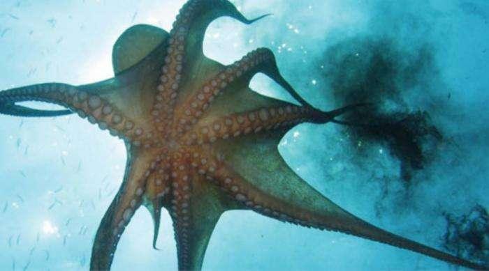 Ужасные случаи нападения осьминогов на человека (5 фото)