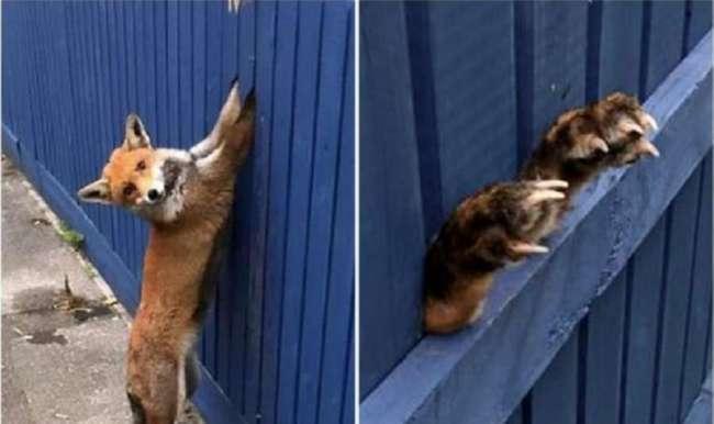 Лиса попала в безвыходную ситуацию, решив заглянуть во двор