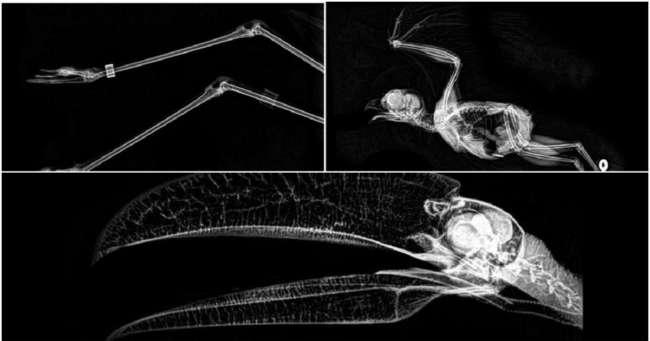Зоопарк Орегона показал как выглядят на рентгеновских снимках питон, лиса и хвост бобра
