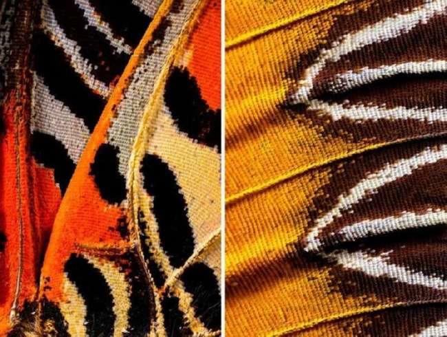 В таких деталях крылья бабочек вы еще не видели (6 фото)