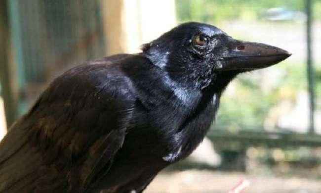 Новокаледонские вороны способны создавать сложны инструменты