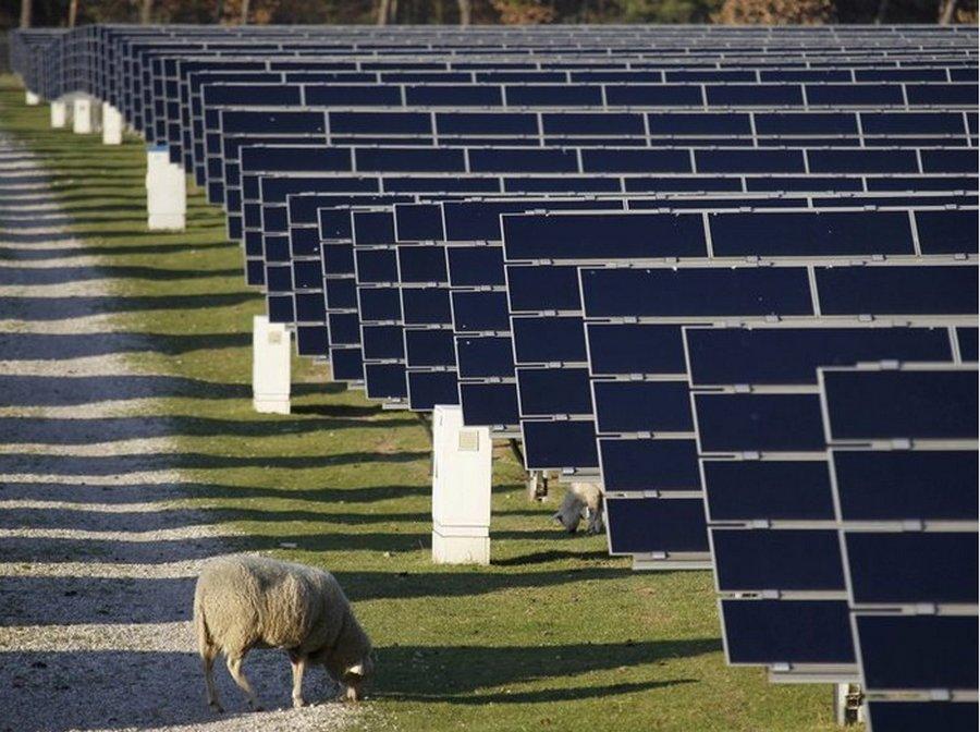 Что делают овцы на солнечных электростанциях?