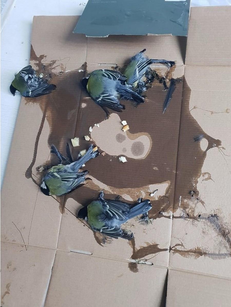 Как ветеринары спасали синичек из ловушки для крыс