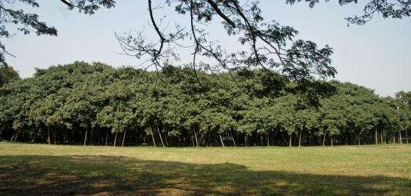 Великий баньян - дерево или лес? (12 фото)