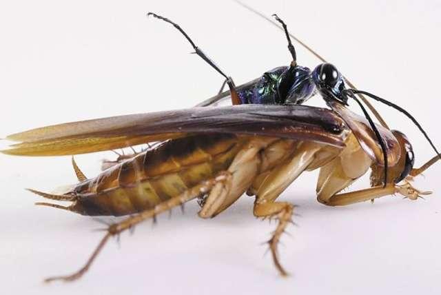 Битва изумрудной тараканьей осы и таракана (3 фото)