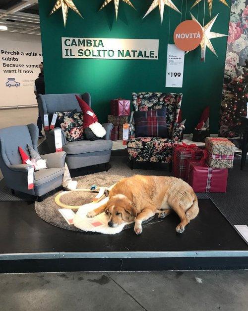 Магазин IKEA в Катании открыл свои двери бездомным собакам, чтобы защитить их от холода. Это вызвало восхищённую реакцию у покупателей. (6 фото)