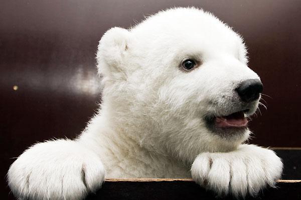 Белый медвежонок Флоке (18 фото)