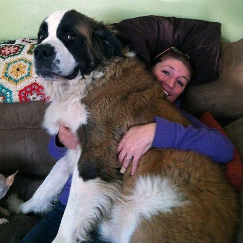 18 фотографий больших собак, которые не прочь вернуться в детство и попроситься на ручки