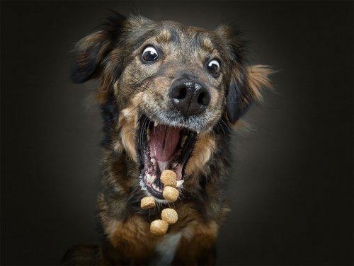 Выражение и эмоции собак, ловящих на лету свои любимые угощения (12 фото)