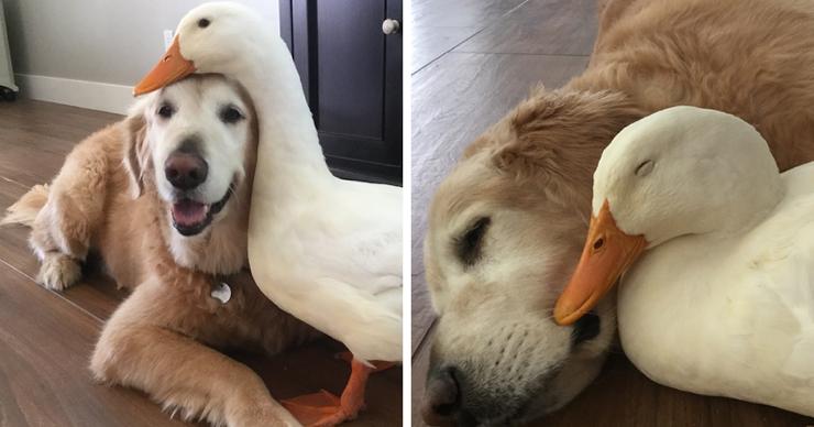 Невероятная дружба собаки и утки (фото + видео)