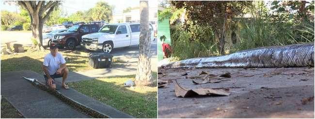 5,5-метровые питоны ползают по улицам во Флориде