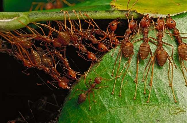 Удивительные муравьи-портные (12 фото)