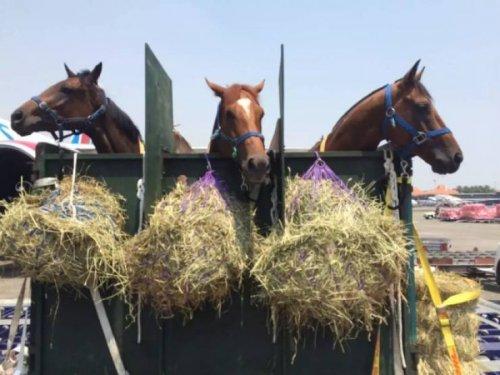 Как лошадей транспортируют на самолётах (7 фото)