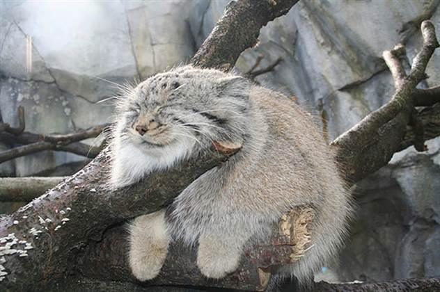 Словно плюшевые! 17 пушистых животных, при виде которых ты придешь в полный восторг ( 18 фото )