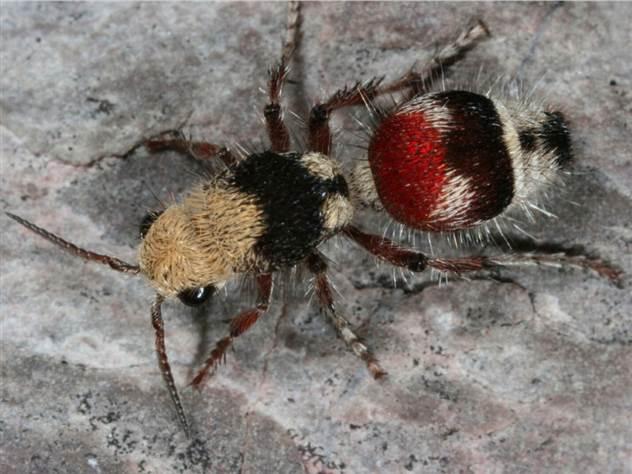 Энтомолог испытал на себе самые болезненные укусы насекомых и составил шкалу боли ( 11 фото )