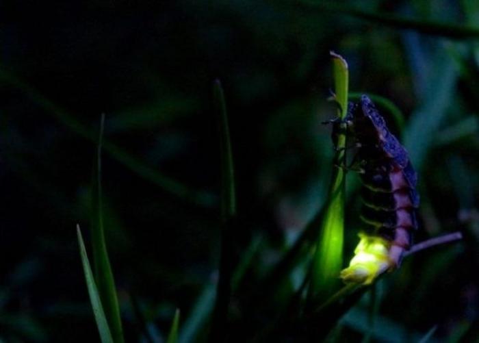 Почему светлячки светятся? (3 фото)