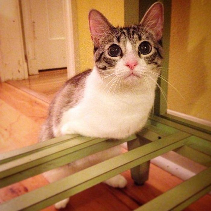 Кот по кличке Ру справляться и без передних лап