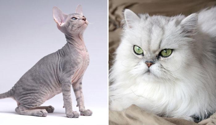Экзотические красавцы, за которых любители кошек выкладывают баснословные суммы