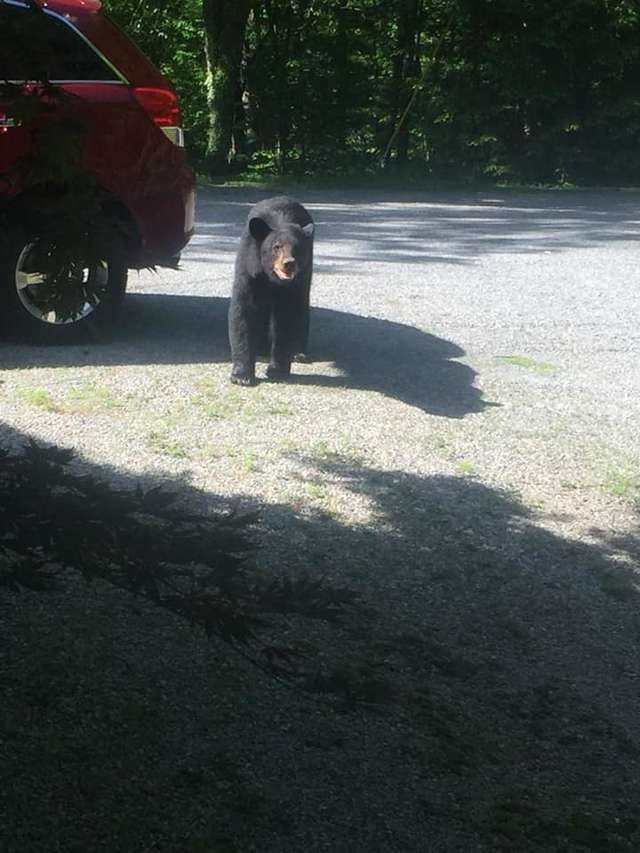 Мужик не закрыл окна в машине и медведи чуть ее не угнали