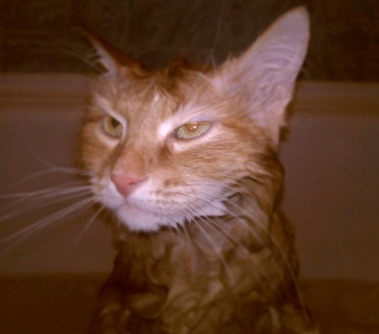 А как выглядят ваши котики после купательных процедур? (6 фото)