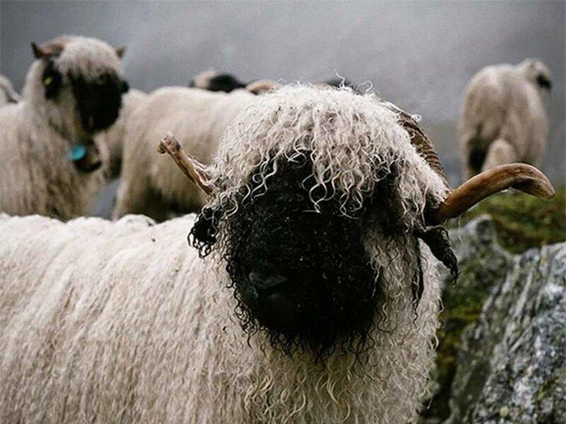 Валлийские черноносые овцы: милашки или предвестники апокалипсиса