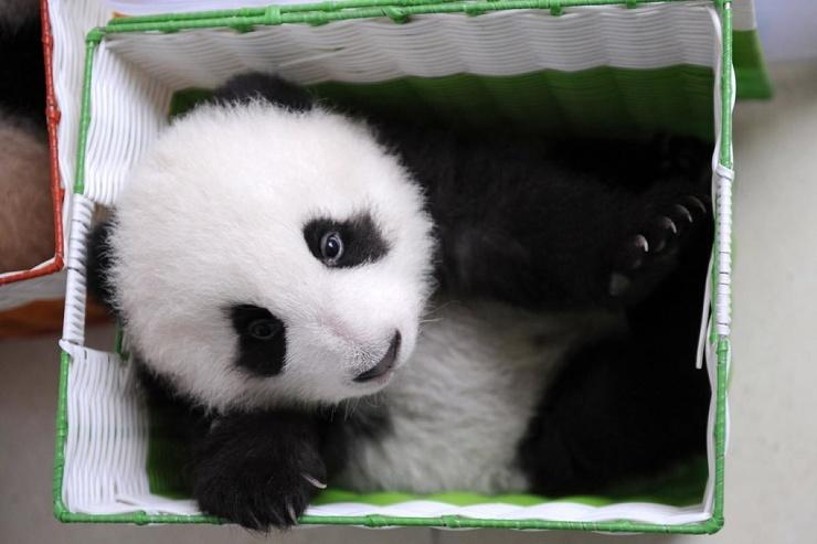 Ясли для панд в провинции Сычуань