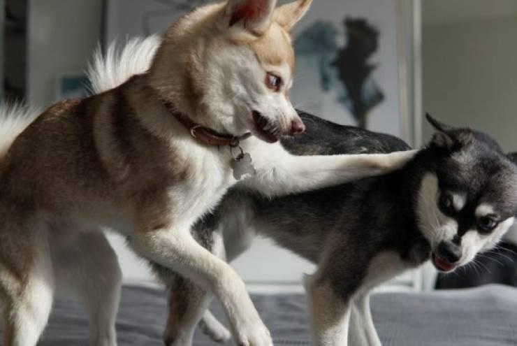 Этим домашним животным не хватает воспитания и хороших манер