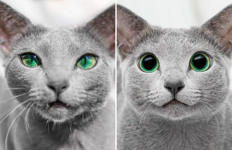Русские голубые кошки с зелёными глазами очаровали тысячи людей ❘ 16 фото