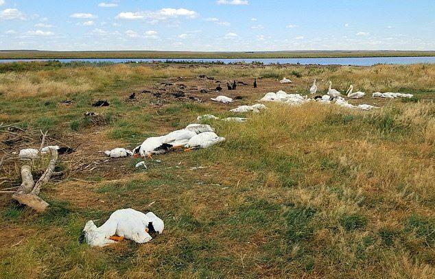 В штате Монтана огромный град убил 11 000 пеликанов, бакланов и уток ❘ фото