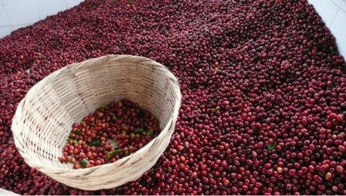 ТОП-10: Самые дорогие сорта кофе в мире
