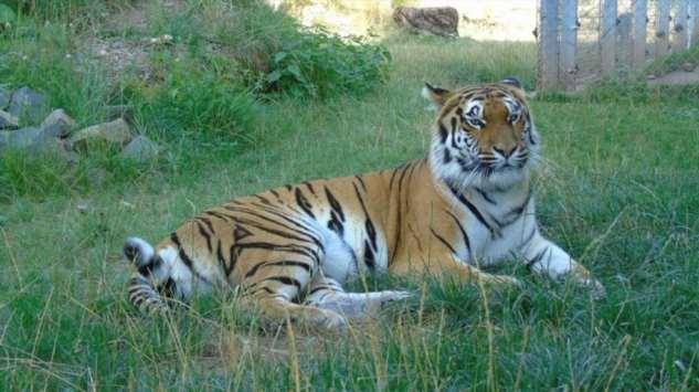 Тигрице из Германии вставили золотую фиксу ❘ фото