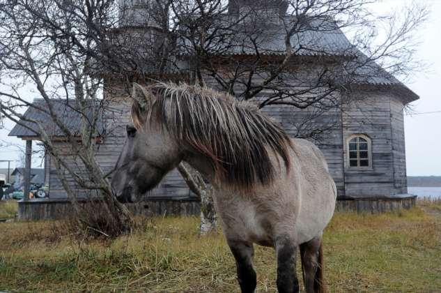 Кузомень: деревня, где живут дикие лошади ❘ фото