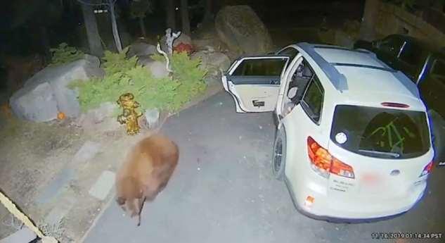Медведь похозяйничал в автомобиле американца ❘ фото + видео