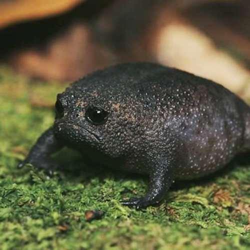 Африканский узкорот ─ самая сердитая лягушка в мире (21 фото)