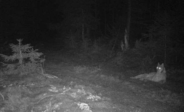 Редкий кадр — в Налибокской пуще схлестнулись рысь и волк