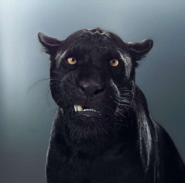 Британский фотограф год снимал портреты больших кошек и показал, что в каждом звере — свой характер ❘ фото