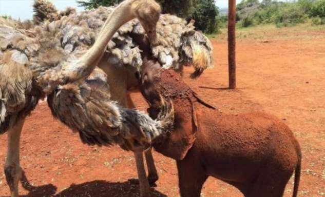 Страус стал настоящей семьей для месячного слоненка