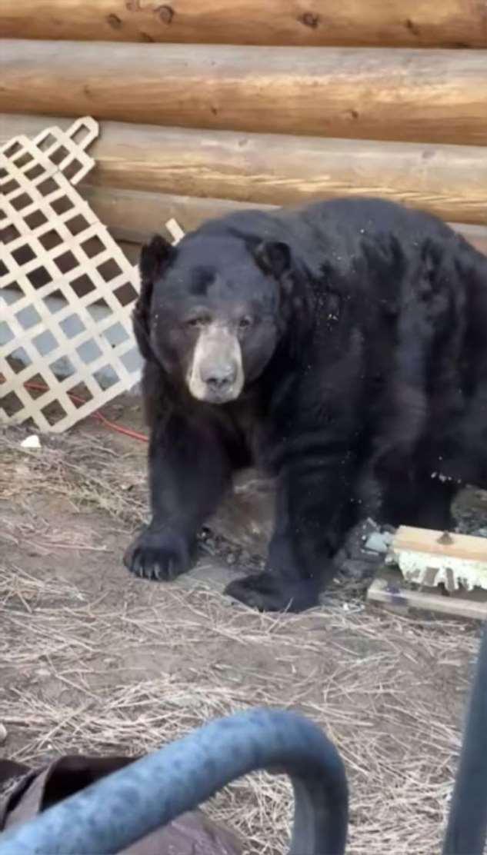 Американская семья была в шоке, когда узнала, что под их домом поселился огромный медведь ❘ фото + видео