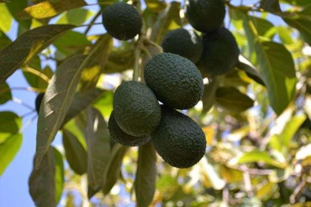Война за авокадо: как мексиканские картели делят прибыльный бизнес