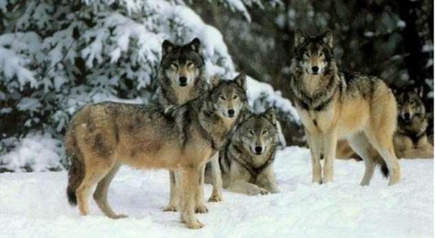 Как четырнадцать волков изменили Йеллоустонский парк