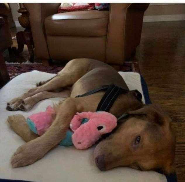 Собаки, которые не расстаются со своими детскими игрушками