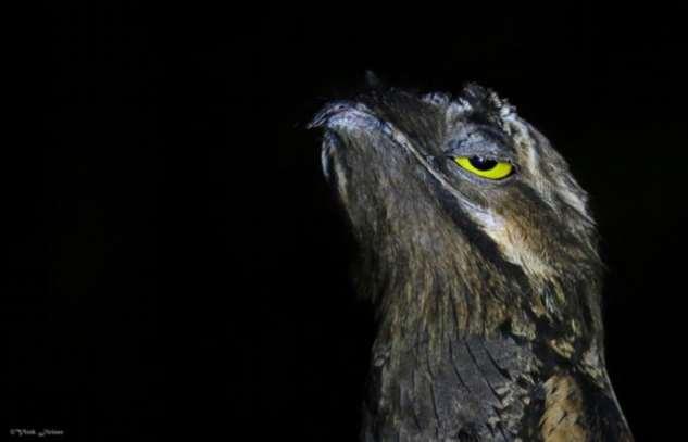 Венесуэльские птички поту — очень забавные пернатые (5 фото)