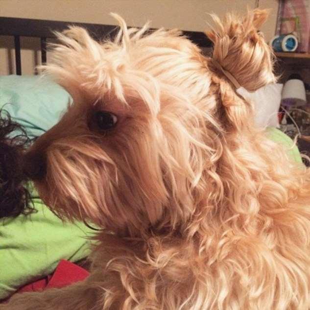 Модные собаки с хипстерским пучком