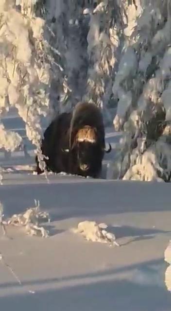 Самца овцебыка заметили на границе Мирнинского и Оленекского районов Якутии