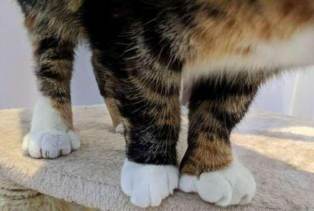 Многопалая кошка покоряет сотрудников приюта и пользователей в социальных сетях (4 фото)