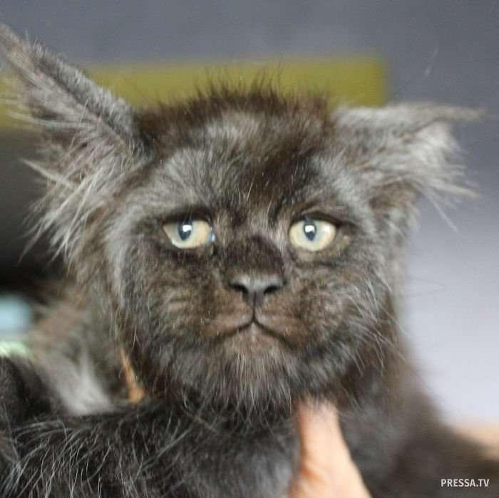 Кот с лицом, похожим на человека